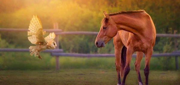 cheval-hibou